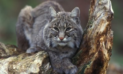 Bobcat picture from Pixabay