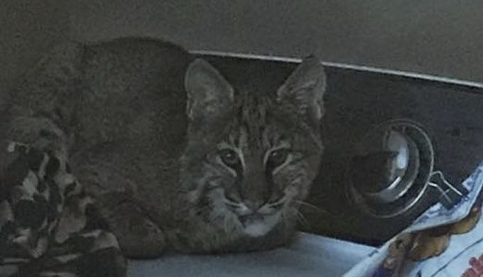 Bobcat in a Laundry room