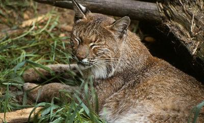 bobcat wildlife
