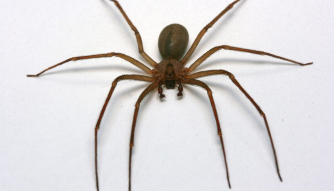 Brown Recluse Spider Img