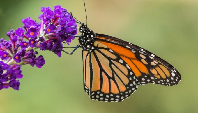 300 Million Monarch Butterflies Coming to Texas: Get Your Camera Ready