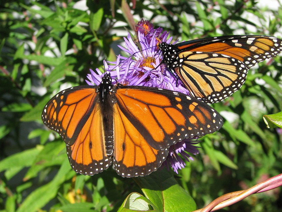 Monarch Butterflies Visit The Texas Hill Country