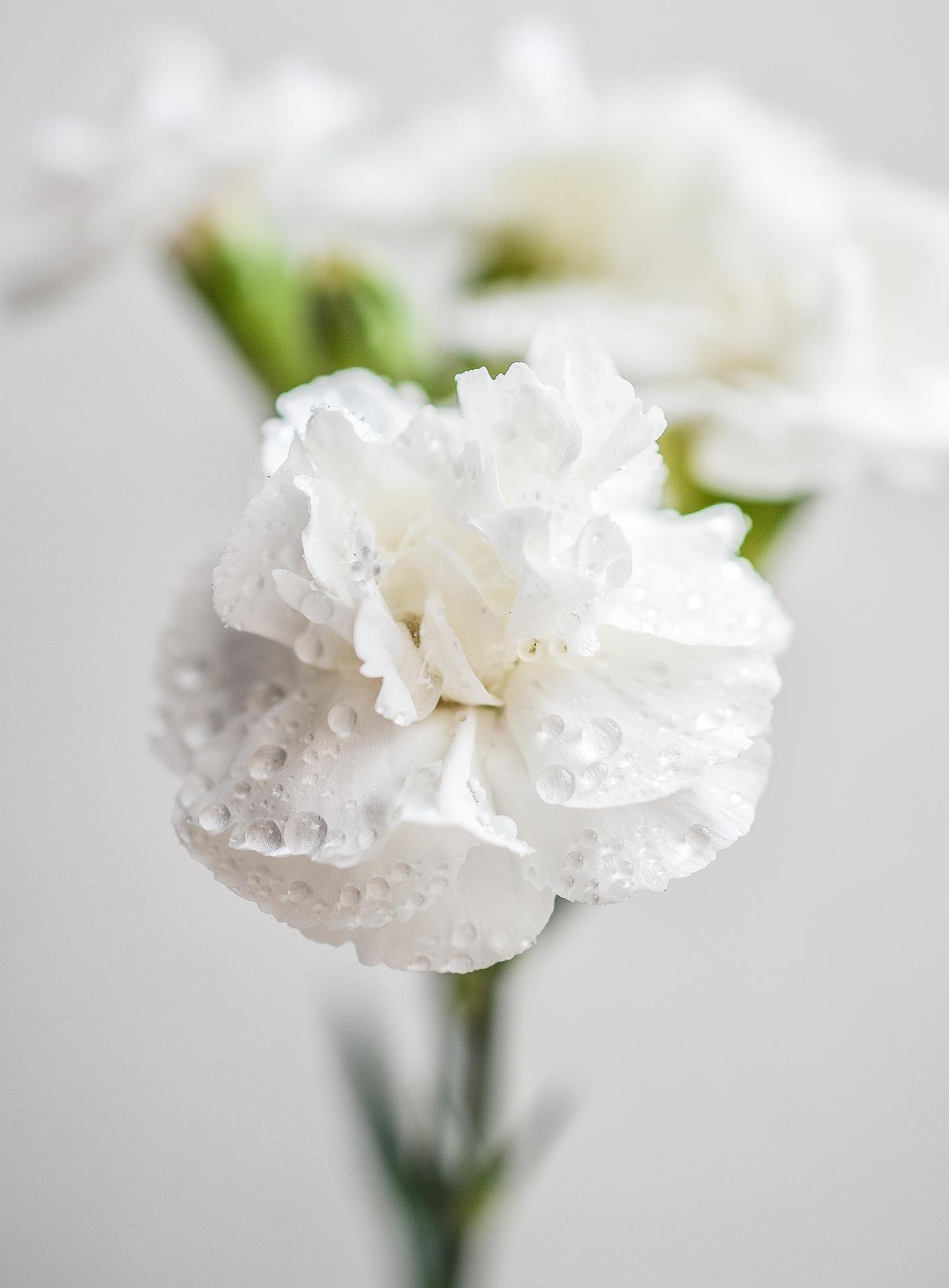 carnation-1426646_1920