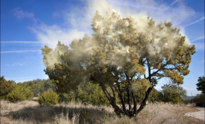 Record Cedar Season Set to Wallop the Texas Hill Country