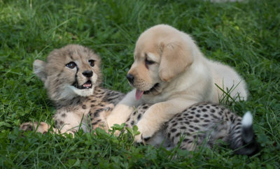 Cheetahs Hang Out With Support Dogs to Learn How to Socialize