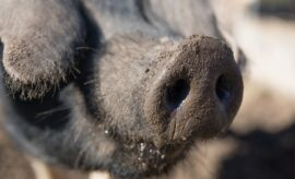 Bringing Home the Bacon: Great Guns for Hog Hunting in Texas