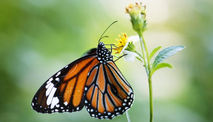 Monarch Butterfly Population Dropped Dramatically: What Can be Done?