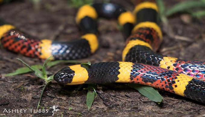 coral-snake