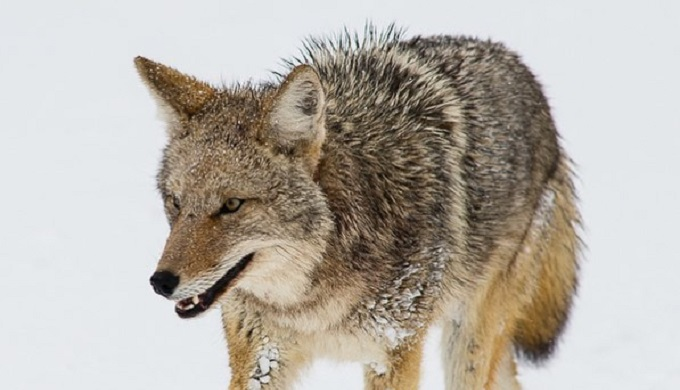 Aggressive Coyote Attacking Joggers & Children in North Texas