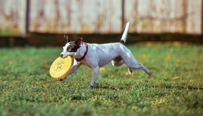 dog frisbie