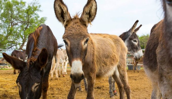 You'll Get A Kick Out of Peaceful Valley Donkey Rescue in