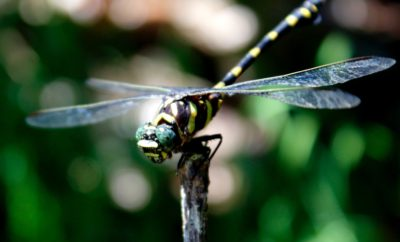 3 Plants to Attract Dragonflies for Mosquito Population Control