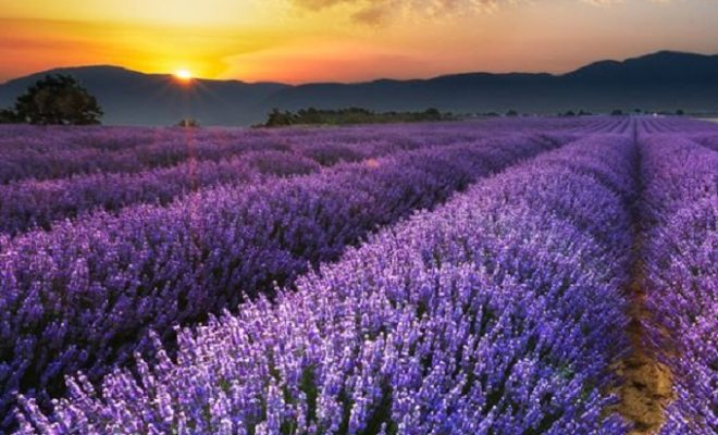 Lavender Fields Not Strawberry Forever In The Texas Hill