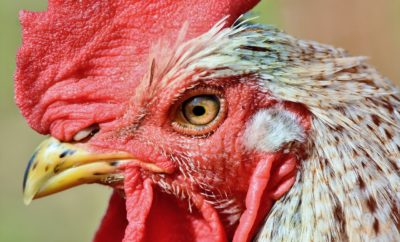 Bastrop Getting Aggressive About Trapping the Town's Wild Chickens