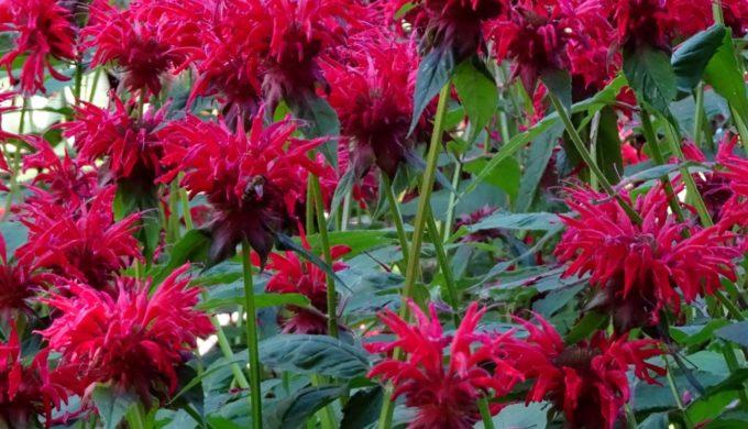 Edible Flowerrs