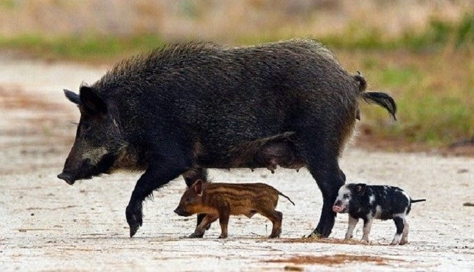 Monstrous 400-Pound Feral Hog Captured in Texas