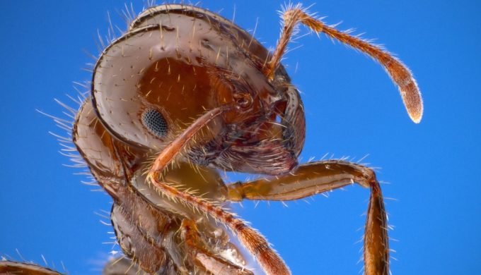 Fire Ant up close and personal