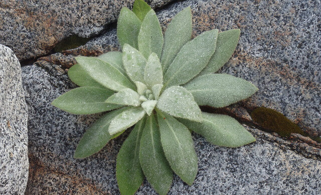 MULLEIN: TREAT LUNGS, EARACHES, BRONCHITIS