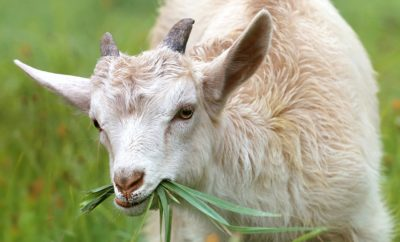 Waco Tests Eco-Friendly Goat Landscaping for Overgrown Areas