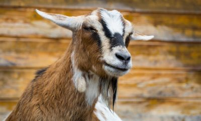 Gang of Mean Goats Target Colorado Business: May Have Turned Bad as Kids…
