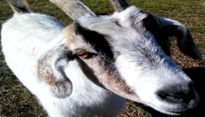urban homesteading goat