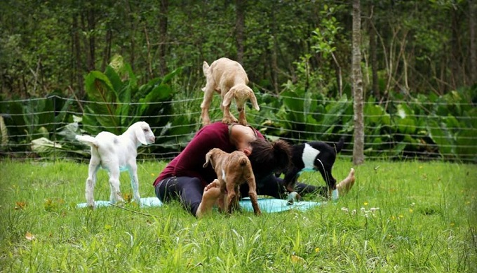 The Newest Holistic Trend has Made its Way to Texas - Goat Yoga!