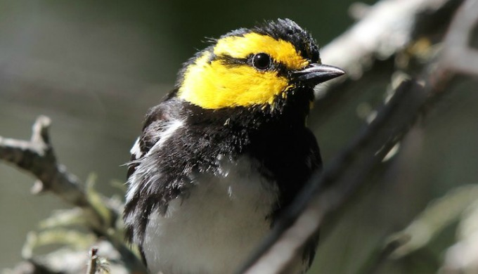 golden cheeked warbler, birds, hill country, texas, meridian