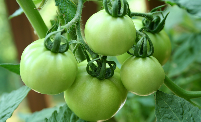 A Crisp and Spicy Southern Delicacy: Fried Green Tomatoes