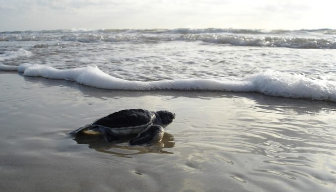 How (And Why) To See A Sea Turtle Hatchling Release in Texas