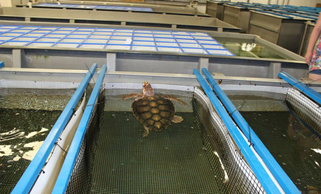 Sea Turtles Rescued After the Freeze Along the Coast