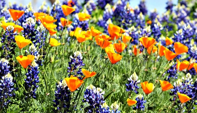 The 5 Varieties of the Texas Bluebonnet