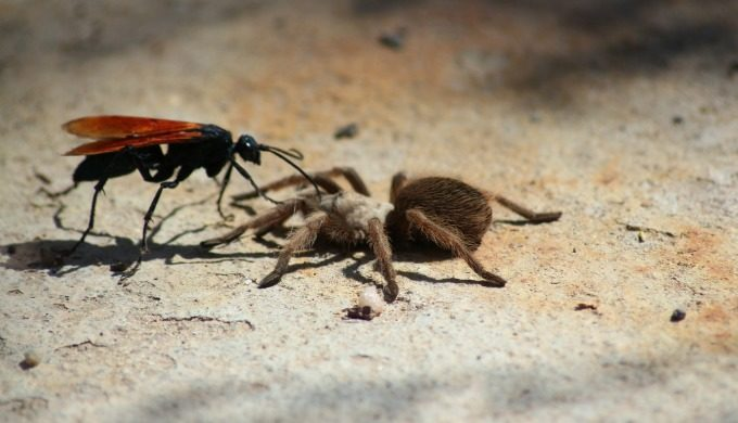 Hawk vs Tarantula