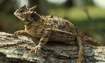 horny toad animals