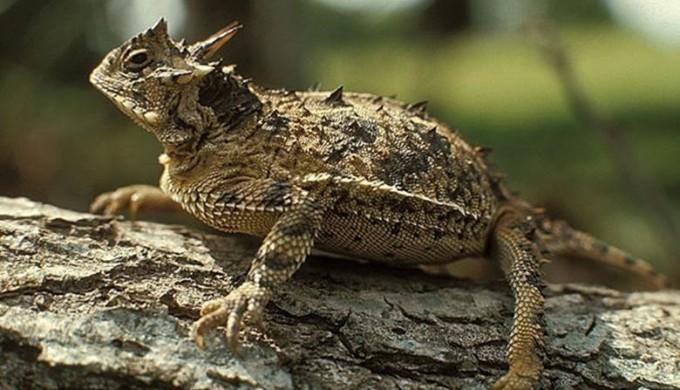 horny toad animals