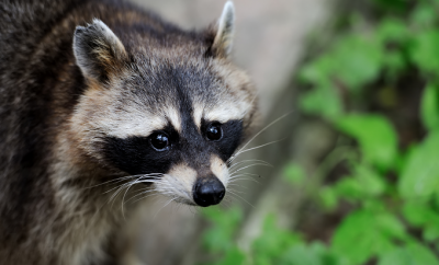 Clarence the Coon Comes Calling: A Texas Tale of a Friendly Raccoon