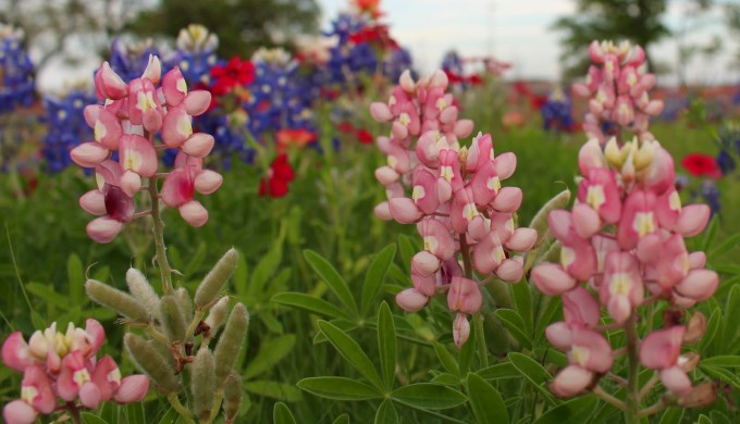 Pink bluebonnets in foreground with blue and maroon bluebonnets in the background