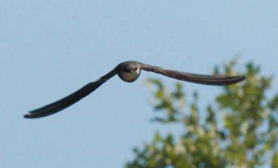 Chimney Swift eye to eye