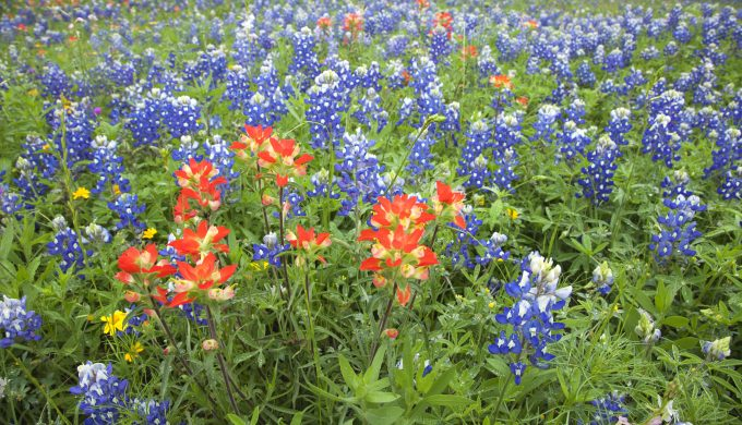 Caussey's Corner: Patches of Blue, a Bluebonnet Legend