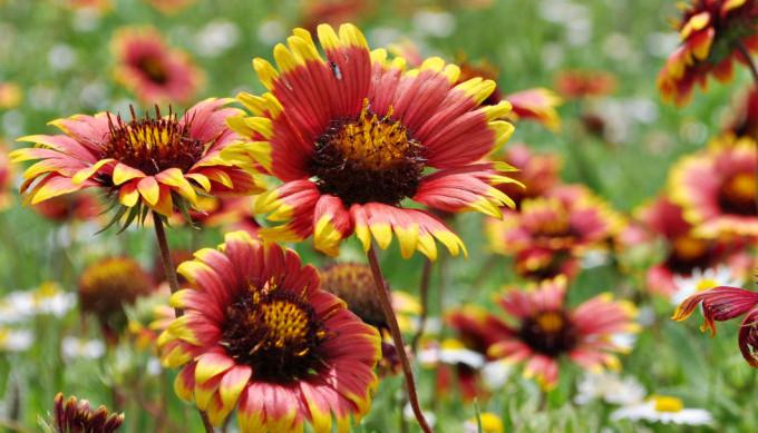 roadside wildflowers - indian blanket