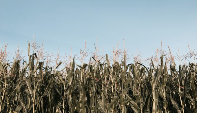 Corn Field by Julia Bielawska