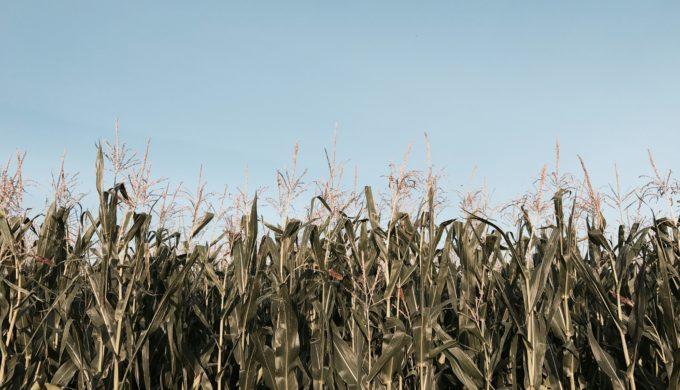 Corn Field by Julia Bielawska