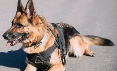 Retired Texas Police Dogs Can Now Go Home With Handlers