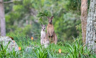 Viewers Jump to Conclusions About Kangaroo Filmed in the Hill Country