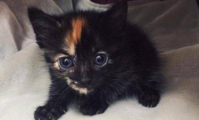 Komodo kitten