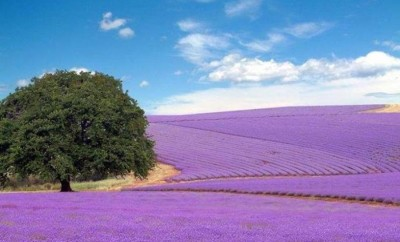 lavender field on Pinterest