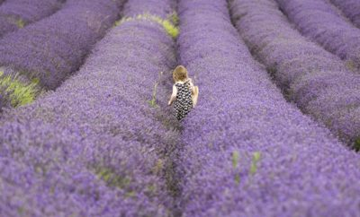 Lavender Fields (Not Strawberry) Forever in the Texas Hill Country