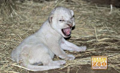 lion cub Lufkin