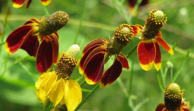 roadside wildflowers - mexican hat
