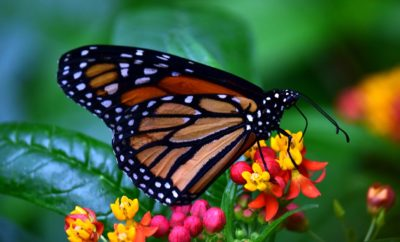 Texas Ranches and Conservationists Partner for the Sake of the Monarch