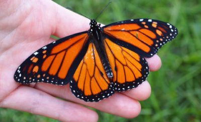 The Houston Zoo is Helping Cold-Stunned Monarchs and You Can Too